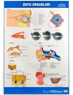 Duyu Organları Levhası (50 x 70 cm) - Kocaoluk Yayınları